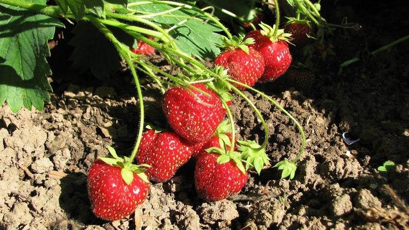 Три способа размножения земляники - семенами, усами, делением куста