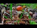 Грибы подосиновики. Собираем грибы. 1.09.2018.