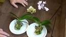 ОРХИДЕИ ЛЕГКО и БЫСТРО сажаю в КЕРАМЗИТ подробное видео пересадки мини фаленопсисов