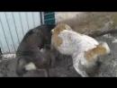 Қазына собачий бой