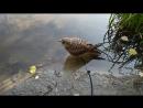 Пустельга купается в пруду