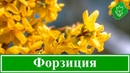 Кустарник форзиция – посадка и уход, выращивание и размножение