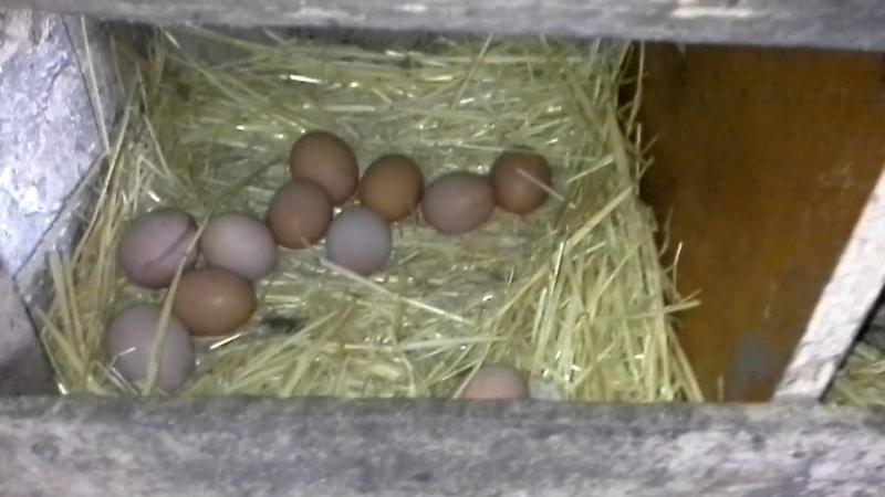 Ламон браун, собираем яйца