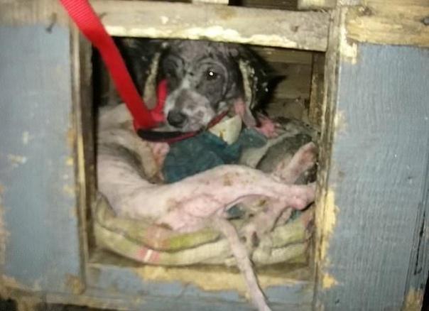 житель британского города ранкорн выгуливал своего питомца, когда увидел в будке существо, отдаленно напоминающее собаку. подойдя ближе, он обнаружил, что изможденное животное лежит возле двух