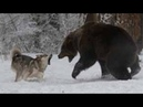 Волк против медведя. Документальный фильм HD (2018)