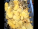 терапия цыплятами