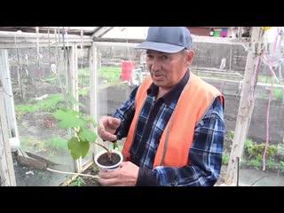 Челнинец рассказал, как ему удается собирать по 10 ведер винограда за сезон
