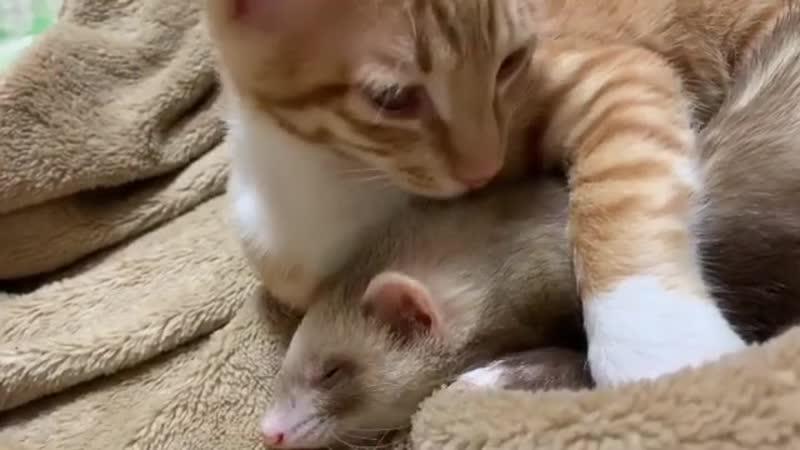 Ferret_hedgehog_chipmunk_cat_BssA-Y-BzDY