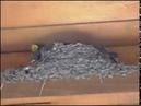 Ласточкино гнездо у нас дома