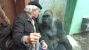 Gorilla Silverback Roututu meets his friend Raymond Hummy Art Sehnsucht Desire