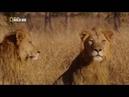 Классный фильм. Львица в изгнании. Львица спасает своё потомство/ National Geographic