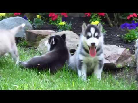 Puppies (4 weeks old) (DEXTER ICHA)