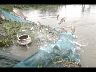 Net Fishing | Fisherman Catch a Lot of Katla and ruhi fishing with long line Net #TrueNature