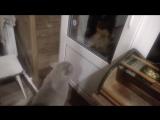 Кот Яков требует у своих хозяев немедленно открыть дверь))