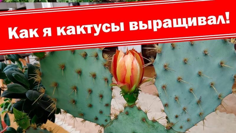Удивительная опунция цветёт Вкусный кактус Как выращивать дома
