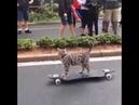 Кот на Скейте. Обалдеть... Кот Исполняет...