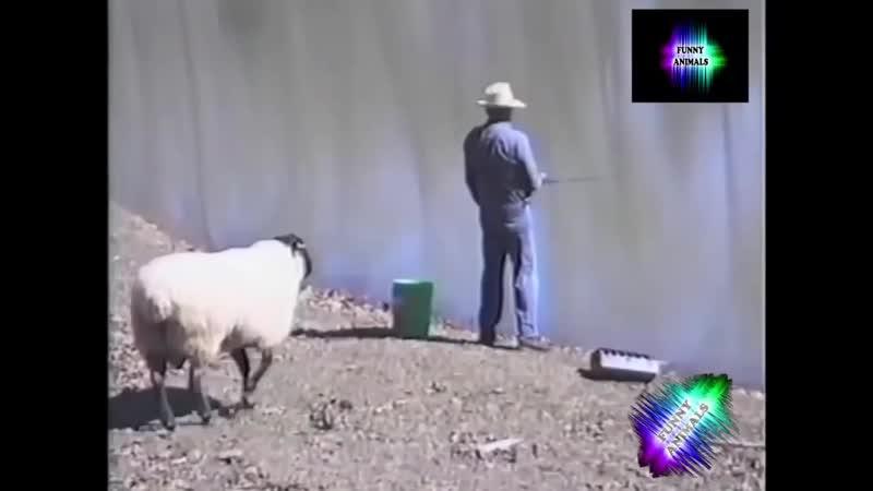 ОЧЕНЬ СМЕШНО Приколы с овцами и баранами.mp4