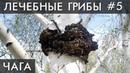 ГРИБ ЧАГА Как Солженицын вылечил свой РАК Уникальные лечебные свойства высших грибов Фролов Ю А