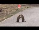 🐿 Сурки устроили жестокую разборку в Китае. Дикий махач начался прямо на дороге. Разумеется, не поделили самку