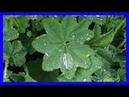 Esta Planta Mágica te Ayudará a curar Enfermedades - Hierba milagrosa del los Alquimistas