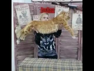 Кот мейн кун Нарцисс. Питомник мейн кунов Sternenburg
