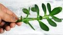 Это растение просто сокровище народной медицины избавит от ВАРИКОЗА ПРЫЩЕЙ ГРИБКА и