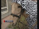 Как из лошади сделать зебру? Креативные эксперименты мурманских полицейских
