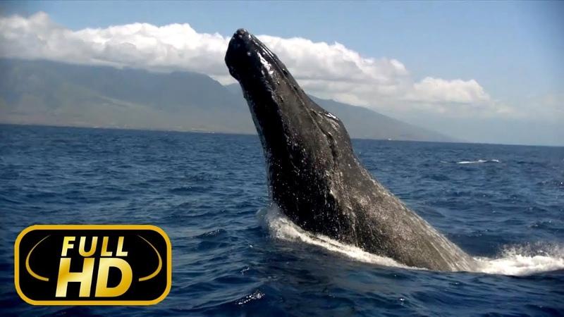 Симфония Нашего Мира. Море 2018 / FULL HD - Документальный фильм 2018 на Amazing Animals TV » Freewka.com - Смотреть онлайн в хорощем качестве