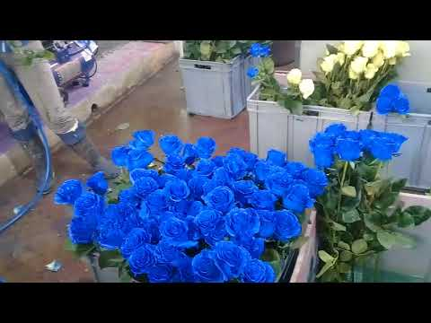 Покраска розы в синий цвет на плантации в Эквадоре.
