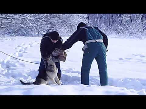 вео Арэс (8мес.) .тренинг по защитной службе (на резине) 16,01,19