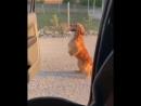 Кики челлендж пес