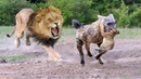 LIVE Hyenas to territory of Lion's attacking Lion cubs Lion parents try to save baby but fail
