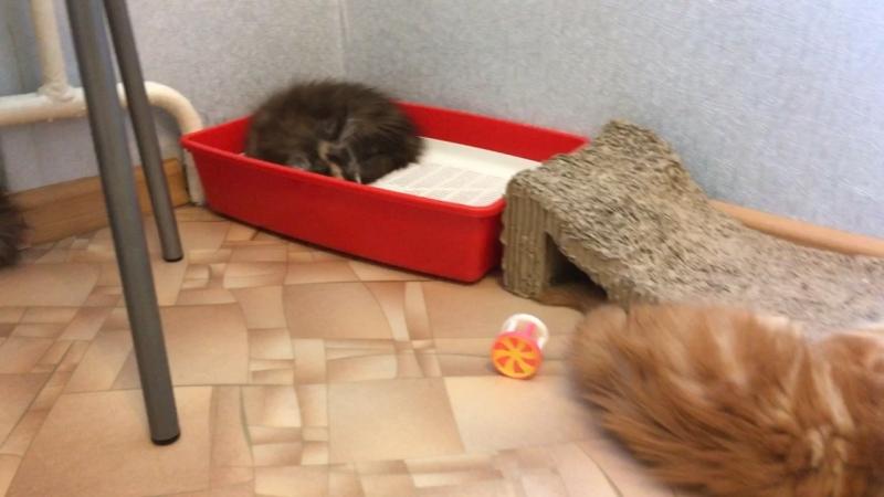 Питомник Acadia Maine. Котятки спят , а кому-то спать совсем не хочется, все как у людей.