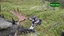 Подборка охот на лося в Норвегии часть 2