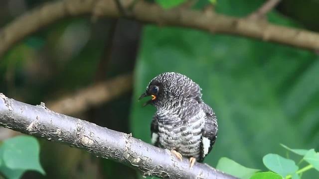 Гималайская кукушка (Cuculus saturatus)_Oriental cuckoo brood parasite