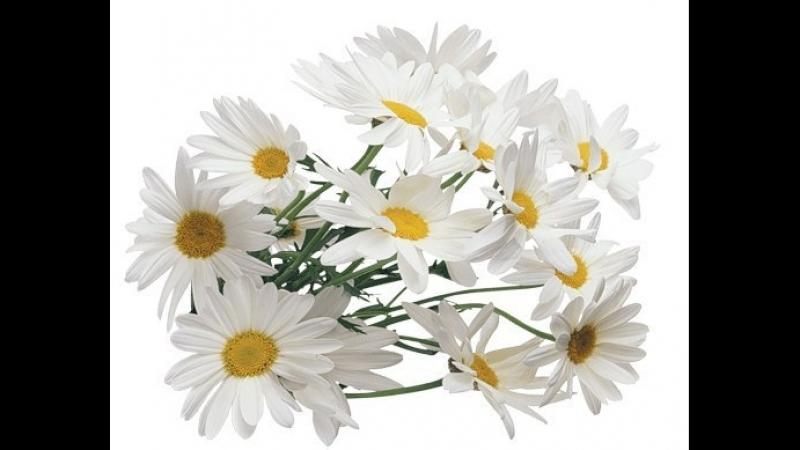 💐 «РОМАШКИ» - Ромашки цветы. Picrolla