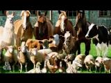Если все станут веганами, что будет со всеми животными (Оправдание 8)