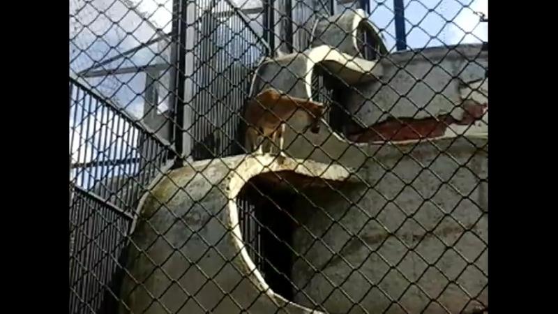 Горные козлы в Ленинградском зоопарке