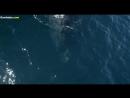 Стая дельфинов сопровождает китов