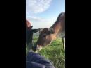 Пасти коров