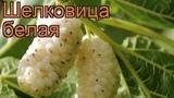 Шелковица белая (morus alba)