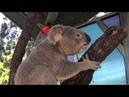 Рёв коалы в брачный период