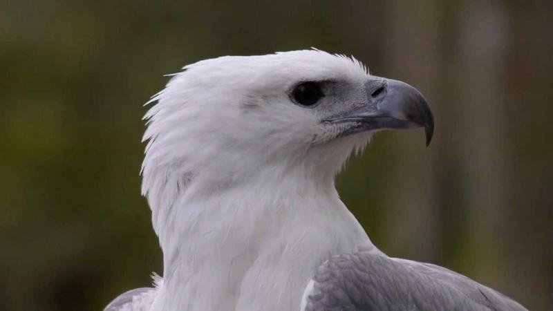 White-bellied sea eagle / Белобрюхий орлан / Haliaeetus leucogaster