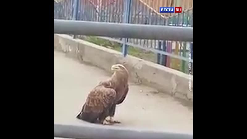 Крупный орлан с поврежденным крылом перекрыл дорогу в Астрахани