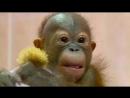 Новосибирский нейрохирург спас жизнь детёнышу орангутана