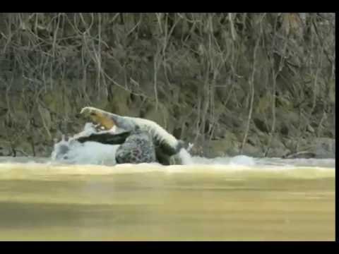 AMAZING !! HUGE MALE JAGUAR PULLING A CAIMAN OUT OF THE WATER