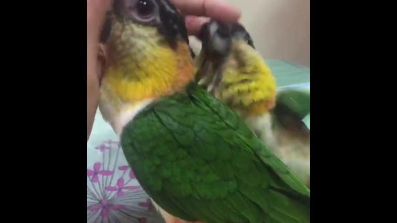 Попугаи каики:)