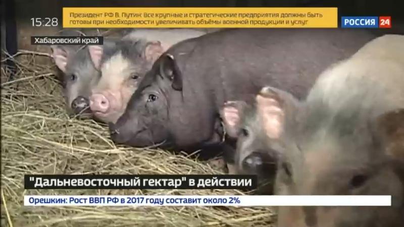Новости на Россия 24 • На дальневосточных гектарах появились вьетнамские свиньи-чистюли