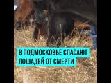 В Подмосковье спасают лошадей от смерти