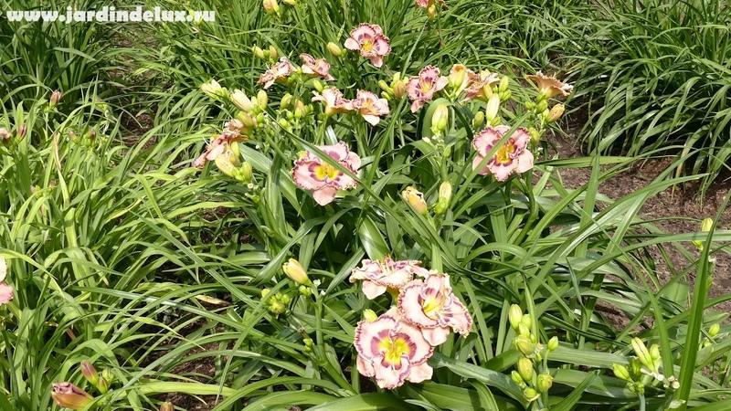 Цветение сортового лилейника CURB APPEAL в саду